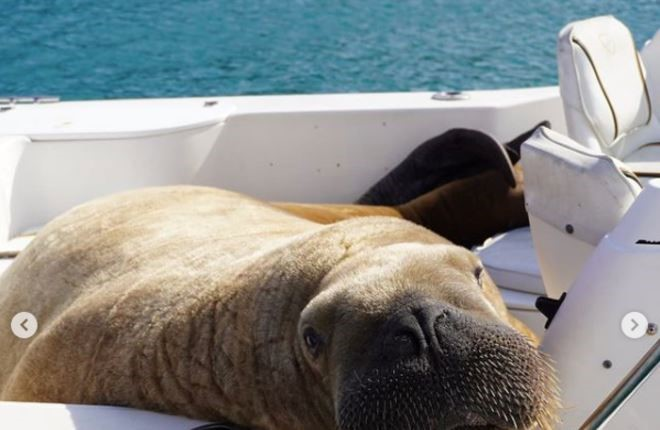 Ирландскому моржу построят понтон, чтобы он перестал топить лодки